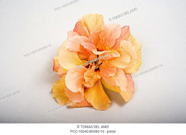 Studio shot of orange double hibiscus on white background