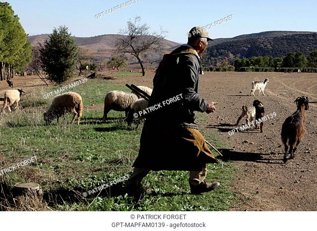 SHEPHERD AND HIS FLOCK OF SHEEP ON THE DOMAINE DE TERRES D'AMANAR, TAHANAOUTE, AL HAOUZ, MOROCCO