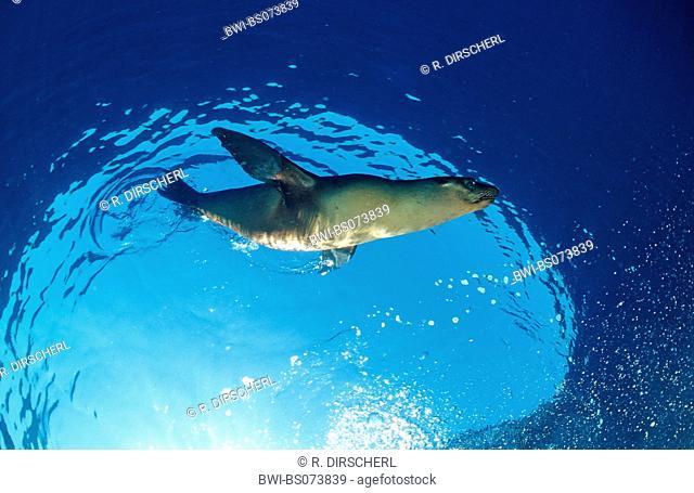 Californian sea lion (Zalophus californianus), in the ocean, USA, California, Pacific Ocean
