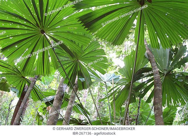 Palmtrees (Licuala ramsayi), Cape Tribulation, Queensland, Australia