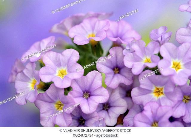 Blue Lantana flowers