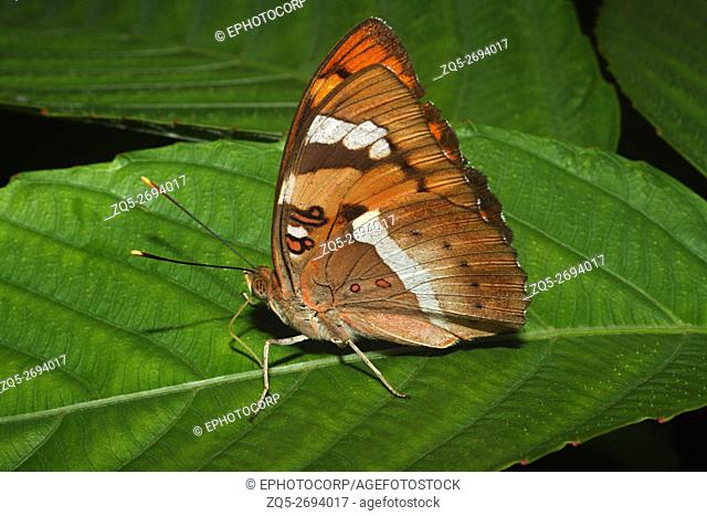 Name- Baronet, Euthalia nais Location- Aarey Milk Colony, Mumbai Description- A bright orange butterfly seen in forested and scrub area