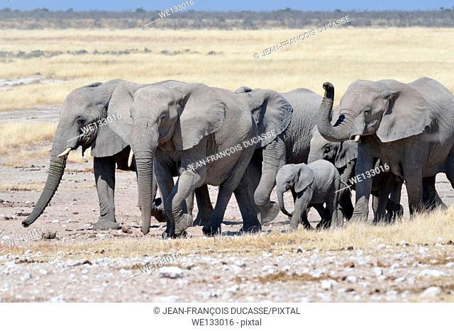 Herd of African elephants (Loxodonta africana), on the way to the waterhole, Etosha National Park, Namibia, Africa