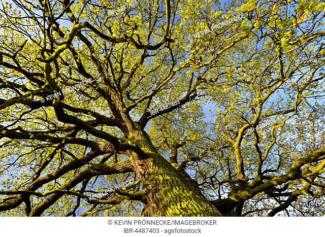 Treetop, solitary oak tree, English oak (Quercus robur) in spring, leaf shoots, Middle Elbe Biosphere Reserve, Saxony-Anhalt, Germany