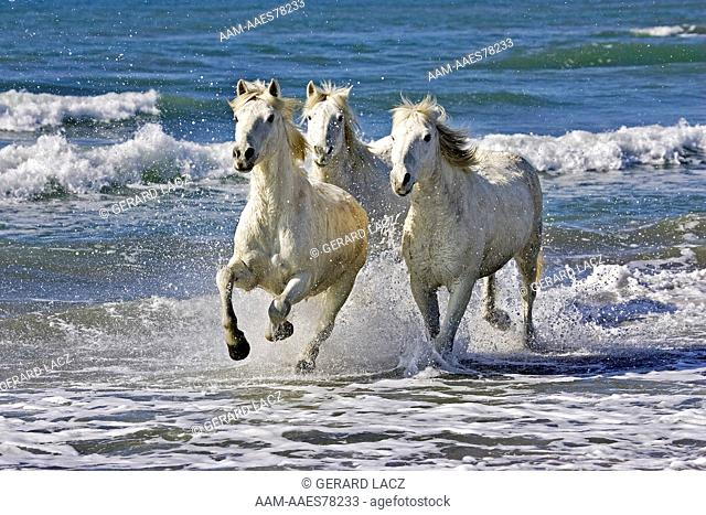 Camargue Horse, Herd Galloping On Beach, Saintes Marie De La Mer In The South Of France