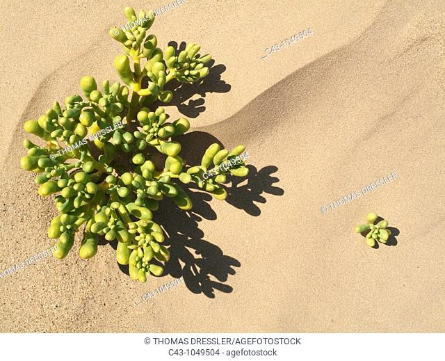 Augea capensis - Succulent plant that grows in arid regions of Namibia  At Kolmanskop east of the coastal town of Lüderitz, Namibia
