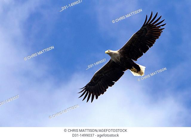 White-tailed sea eagle (Haliaeetus albicilla), Isle of Mull, Scotland, UK