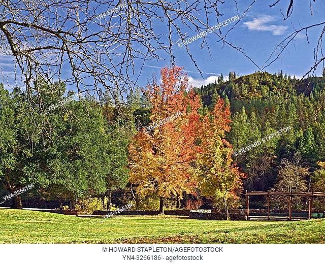 Black oak, California Black Oak tree in fall color. Shasta County, Northern California. Oak, Quercus kelloggii,