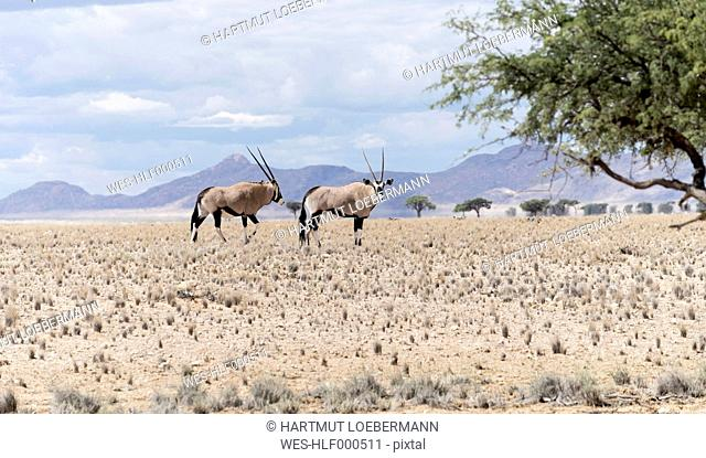 Namibia, Namib Naukluft National Park, Two Oryx