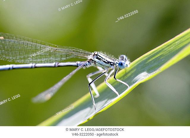 Male White-legged Damselfly, Platycnemis pennipes, Blue Featherleg, a distinct damselfly with white legs/ Length is 32mm