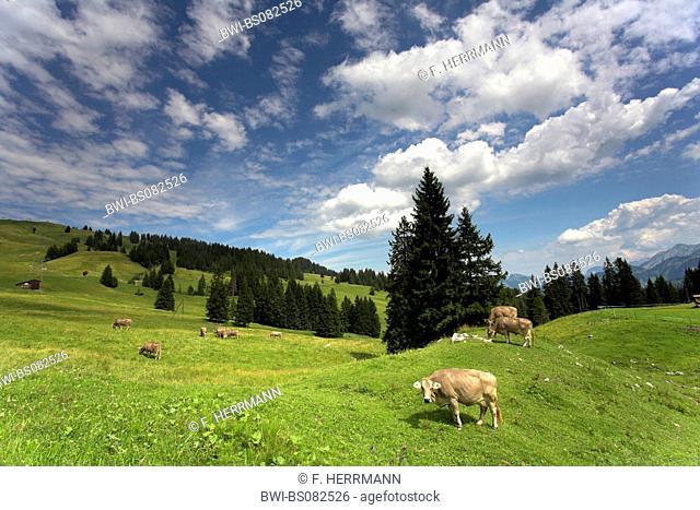 domestic cattle (Bos primigenius f. taurus), cow on alpine pasture, Switzerland, Kanton Zug, Ibergeregg