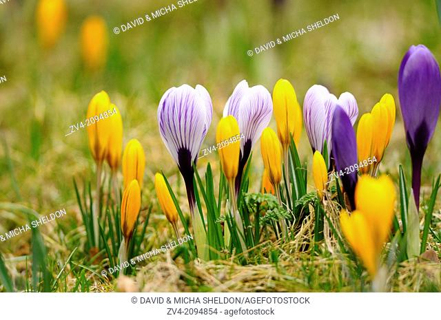 Close-up of crocus blossoms in spring