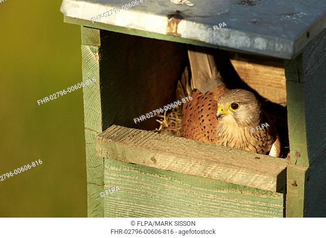 Common Kestrel (Falco tinnunculus) adult male, incubating eggs in nestbox, Hungary, May