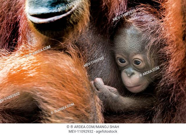 Bornean Orangutan baby and mother