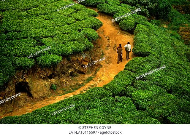 Most of the Ceylon tea estates are situated at elevations up to 8,000 feet in the centre of the island. In the hot,steamy climate of the hills and foothills