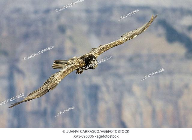 Lammergeier (Gypaetus barbatus) in flight