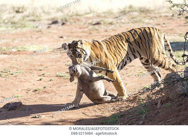 South Africa, Private reserve, Asian (Bengal) Tiger (Panthera tigris tigris), female adult with a prey, Common warthog (Phacochoerus africanus)
