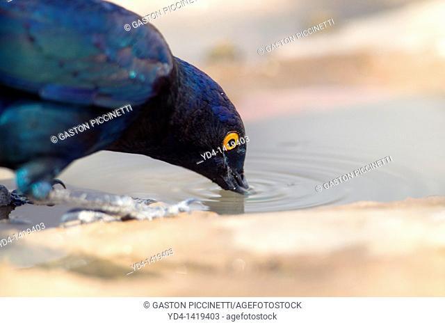 Cape Glossy Starling Lamprotornis nitens, in the waterhole, Mabuasehube, Kgalagadi Transfrontier Park, Kalahari desert, Botswana