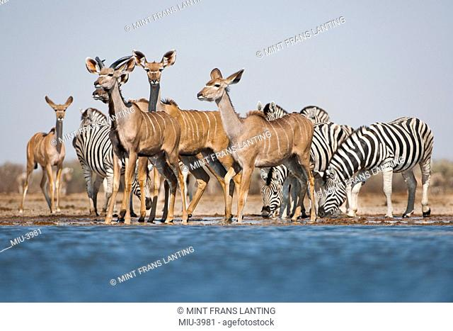 Zebras, Equus quagga, and greater kudus, Tragelaphus strepsiceros, at waterhole, Etosha National Park, Namibia