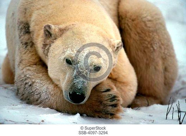 Polar bear Ursus maritimus resting in snow, Churchill, Hudson Bay, Manitoba, Canada