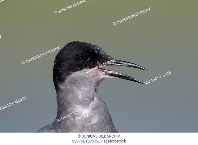 Black Tern (Chlidonias niger). Portrait of adult, calling. Germany