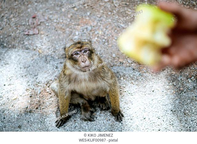 Morocco, Meknes-Tafilalet, Ifrane National Park, Barbary monkey looking at an apple