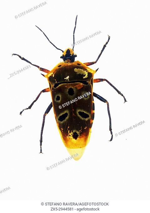 Shield-backed Bug in resin - Indonesia