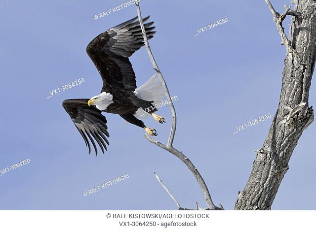 Bald Eagle ( Haliaeetus leucocephalus ), adult on a nice winter day, taking off from a cottonwood tree, Yellowstone, Montana, USA