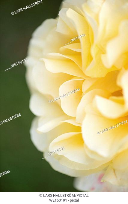 Yellow rose. Close up of flower in garden. Nature detail with organic texture