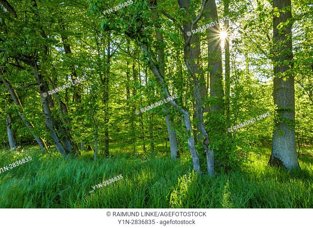Forest with sun in spring, Birkenfeld, Franconia, Bavaria, Germany