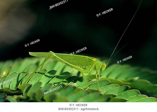 Four spot bush cricket, Four spot bush-cricket (Phaneroptera nana, Phaneroptera quadripunctata), male