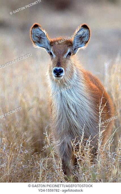 Waterbuck Kobus ellipsiprymnus - Young, in the bush, Kruger National Park, South Africa