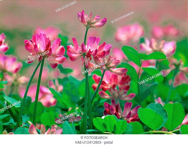 Chinesemilkvetch, flower, plants, plant, film