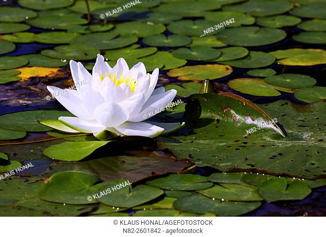 Water lily (Nymphaea alba) blooming in a pond - Bavaria/Germany