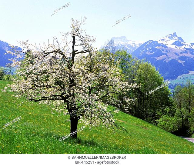 Simplon Pass canton of Valois Switzerland cherry blossom