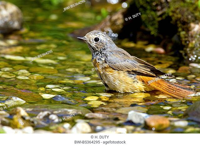 common redstart (Phoenicurus phoenicurus), young male bathing , Germany