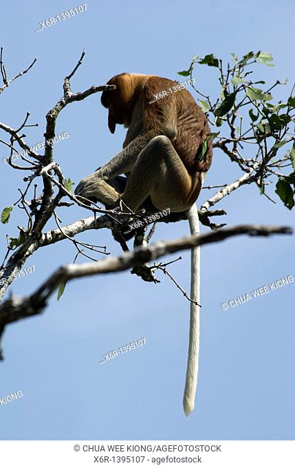 Male Proboscis Monkey, Bako National Park, Borneo, Malasya