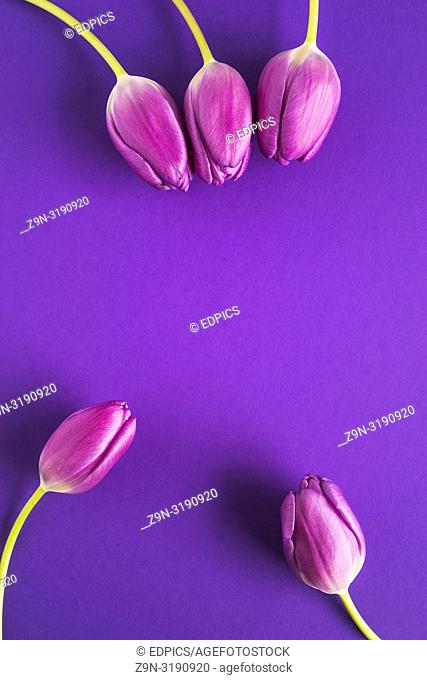 five purple tulips on dark purple background, stuttgart, baden-wuerttemberg, germany