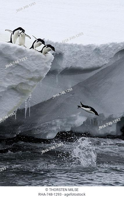 Adelie penguins Pygoscelis adeliae, Port Martin, Antarctica, Polar Regions
