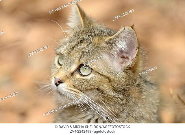Portrait of a European wildcat (Felis silvestris silvestris) in a forest in spring