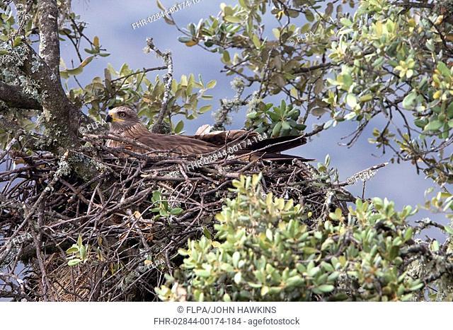 Black Kite Milvus migrans adult, brooding eggs in nest, in Holm Oak Quercus ilex, Extremadura, Spain, april