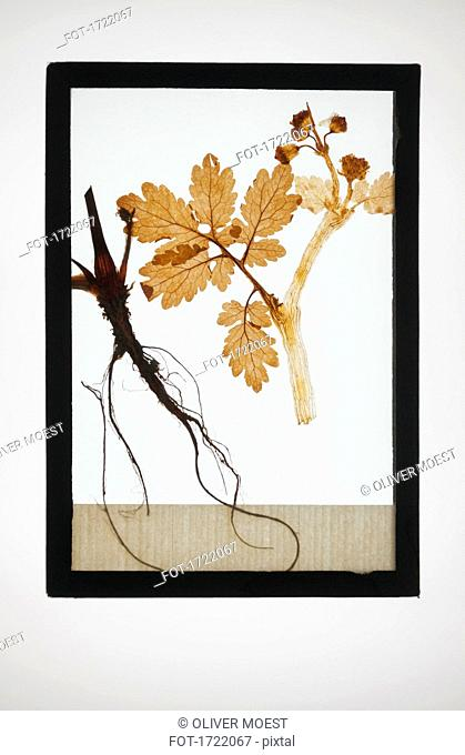 Reproduction of English oak plant specimen