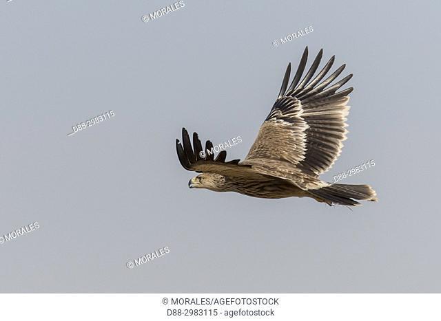 Asia, India, Rajasthan, Bikaner, Eastern imperial eagle (Aquila heliaca) in flight