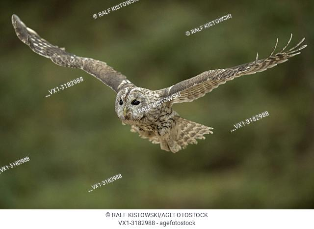 Tawny Owl (Strix aluco) in noiseless gliding flight, with its wings wide open, in front of blurred, clean background