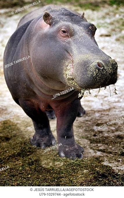 Hipopotamo  Hippopotamus amphibius