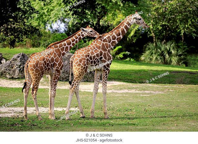 Reticulated Giraffe, (Giraffa camelopardalis reticulata), two adults social behaviour, Africa
