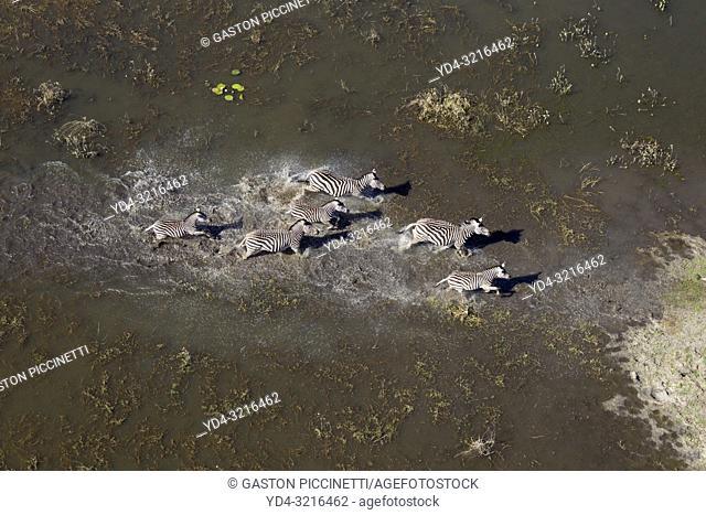 Aerial view of plains zebras, (Equus quagga), running at the floodplain, Okavango Delta, Botswana. The Okavango Delta is home to a rich array of wildlife