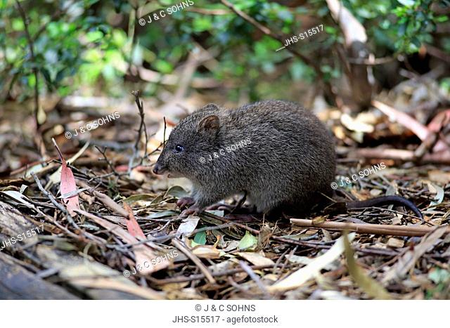 Long nosed Potoroo, (Potorous tridactylus), adult searching for food, South Australia, Australia