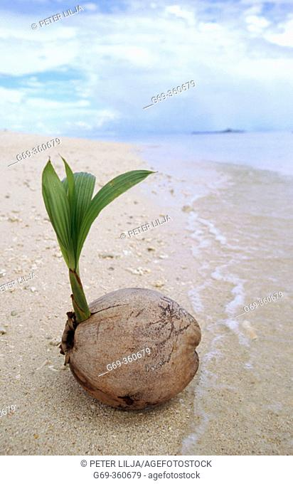 Sprouting Coconut palm (Cocos nucifera) on the sandy shore of Turtle Island. Borneo, Malaysia