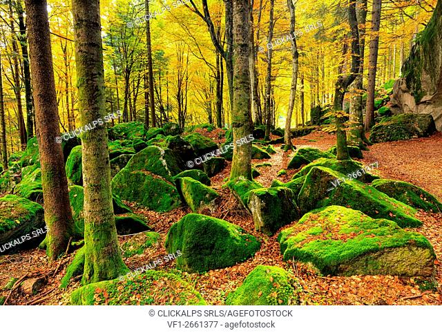 Moss adds a splash of colour to the forest in Autumn, Bagni Masino, Italy